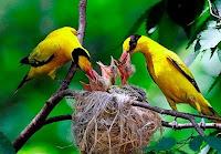 Sarang Burung Kepodang Di Alam Liar
