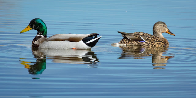 Mallards, Fairview Reservoir