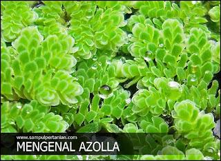 Mengenal Azolla