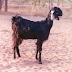 Kutchi Goat