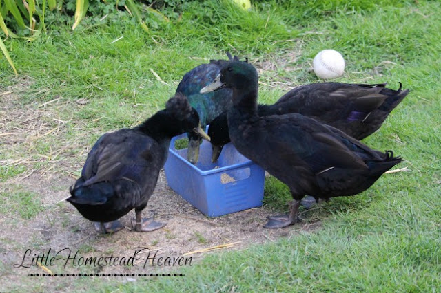 My ducks are royal jerks