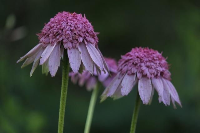 Echinacea Secret Romance