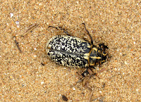 Escarabajo en las dunas de Liencres. Viajar por la Costa Quebrada en Santander. Rutas por la Costa Quebrada. Qué ver por la Costa Quebrada.