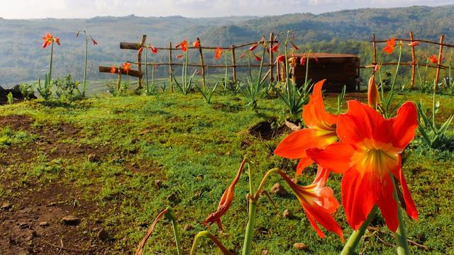 bunga amarylis gunungkidul