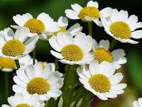 5 Jenis Bunga Yang Bisa Dimakan dan Dijadikan Isian Puding Yang Sangat Enak