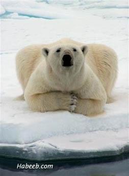 Rasta Lion Hd Wallpaper Funny Polar Bear Funny Animal