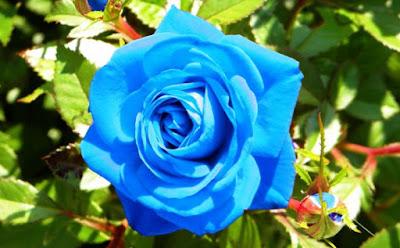 Bunga Bunga Mawar Biru
