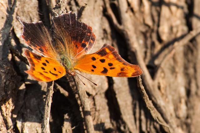 Butterfly, LLELA