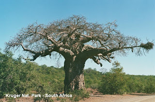 kruger south africa baobab