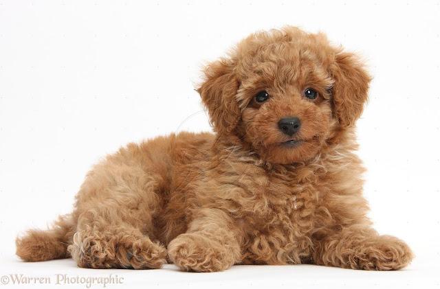 Nuôi Poodle đực hay Poodle cái?