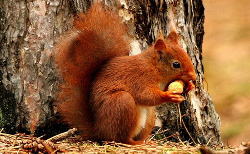 relationship between american squirrel and red squirre