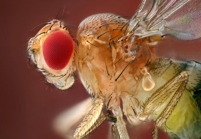 Penelitian Drosophila melanogaster establishes stable gut-colonizing bacteria