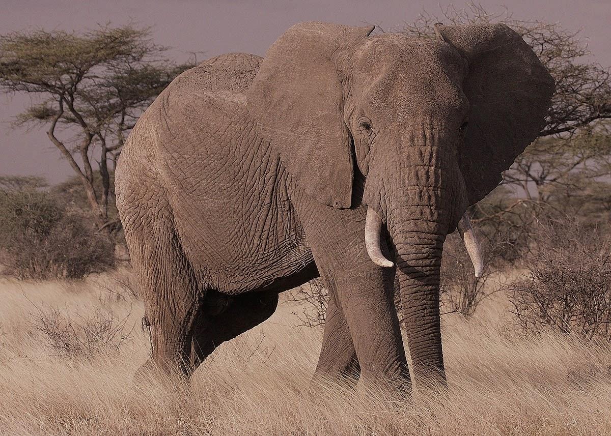 gambar gajah nama hewan dari huruf G