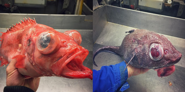 This Russian Fisherman Collects Scary-Looking Deep-Sea Creatures!