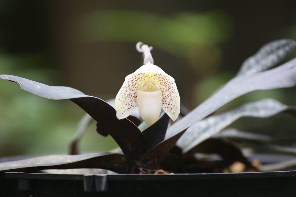 Lan hài đốm - Paphiopedilum gratrixianum