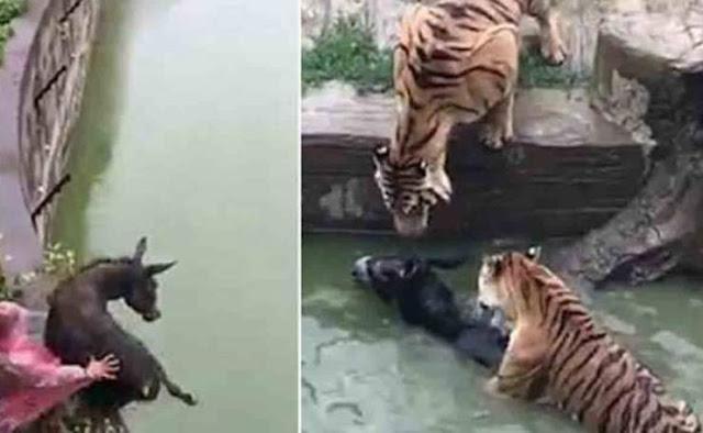 القاء حمار حي لنمور جائعة يشعل مواقع التواصل شاهد الفيديو الذي اثار غضب واستياء رواد الإنترنت