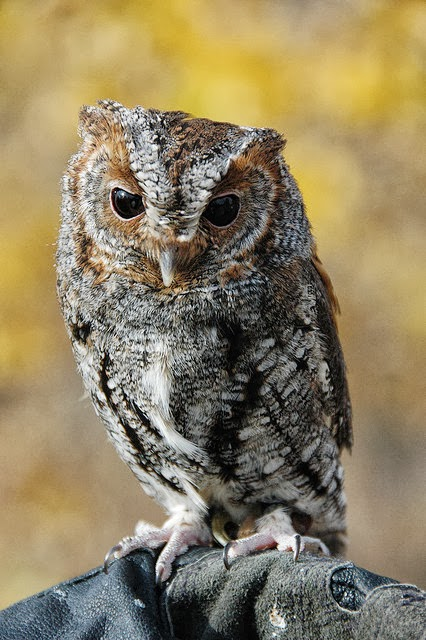 Flammulated Owl All About Owl