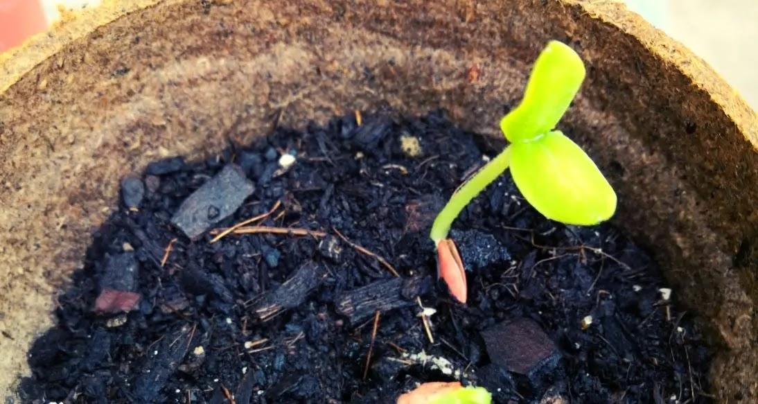 Experimento #1 Germinación de la semilla del PEPINO