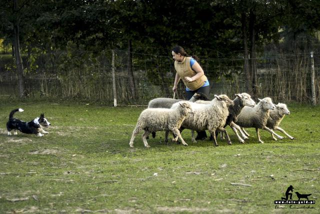 biba, welsh corgi, welsh corgi cardigan, corgi, cardigan, pies, pasienie, pasterstwo, pasterze, owczarnia, owce, owca, trening, owczarnia natolin