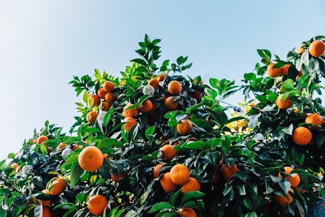 Citrus Fruit Oranges