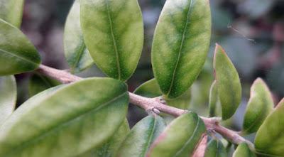 Carencia y exceso de hierro en plantas