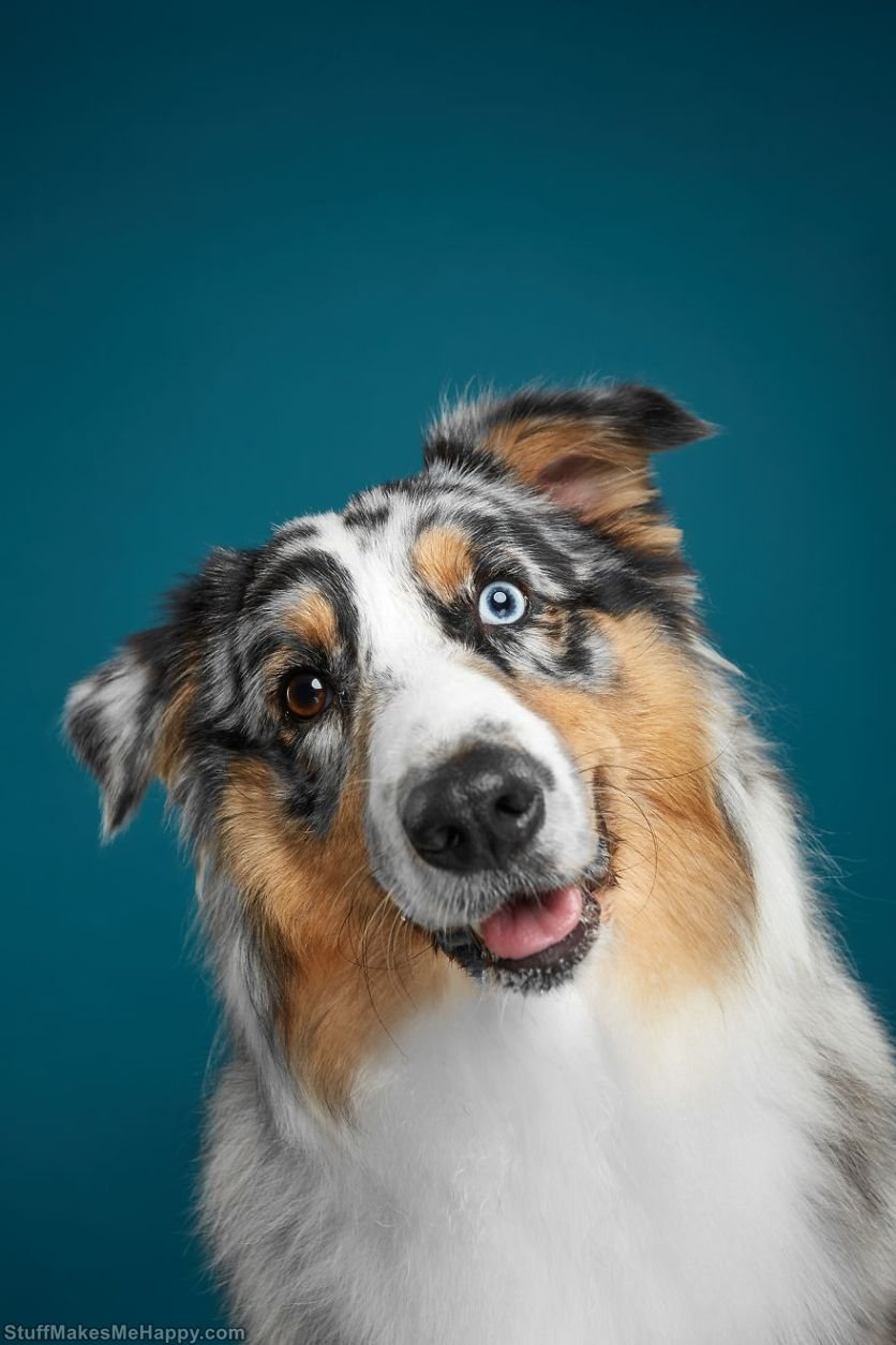 3. Fanta - playful and curious Australian Shepherd