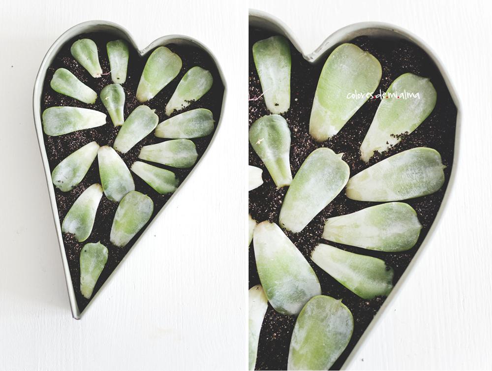 succulent propagation