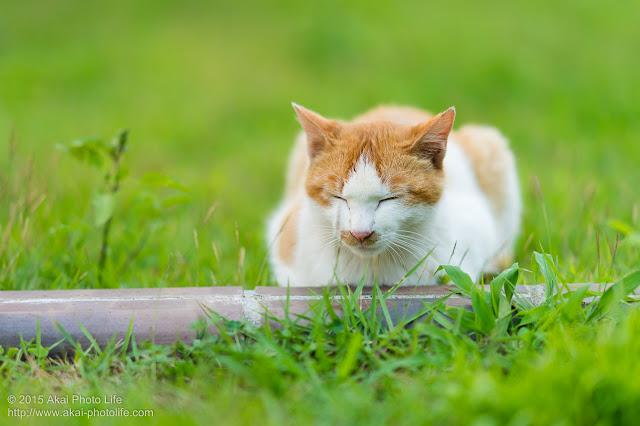 寝ている茶白の猫zzz