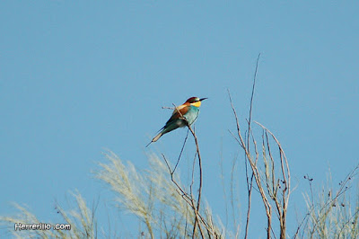 Abellerol (Merops apiaster)