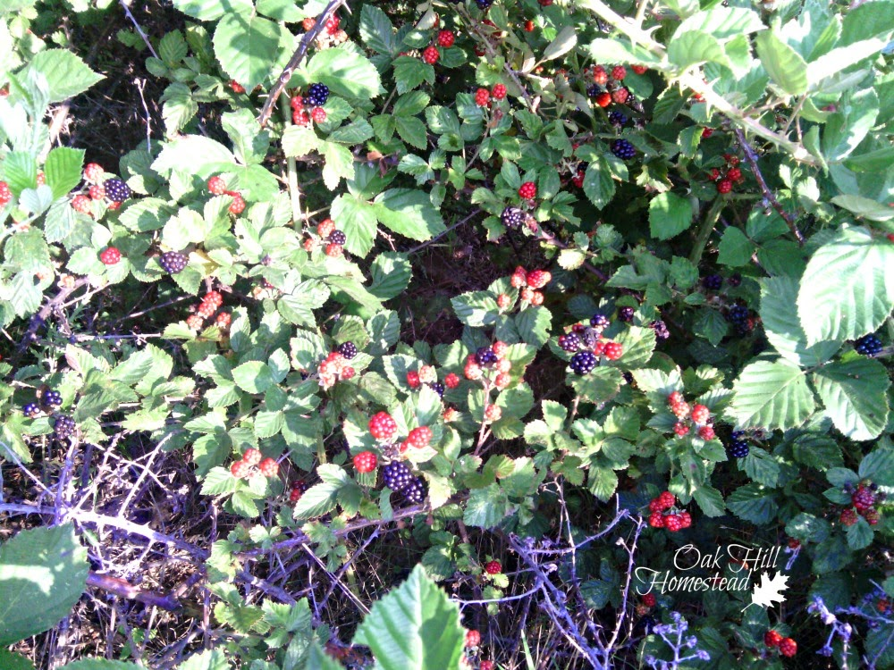 A wild and thorny blackberry thicket contains the juicy, sweet berries.