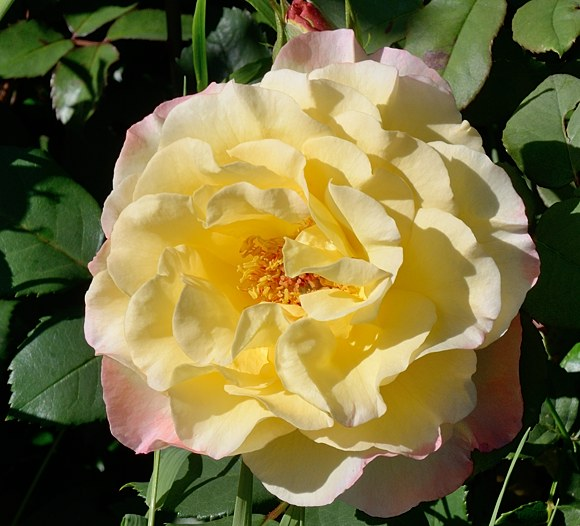 Aquarelle сорт розы Тантау фото