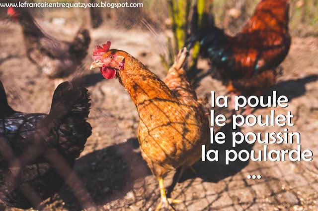 la poule le poulet la poulette la poularde différences