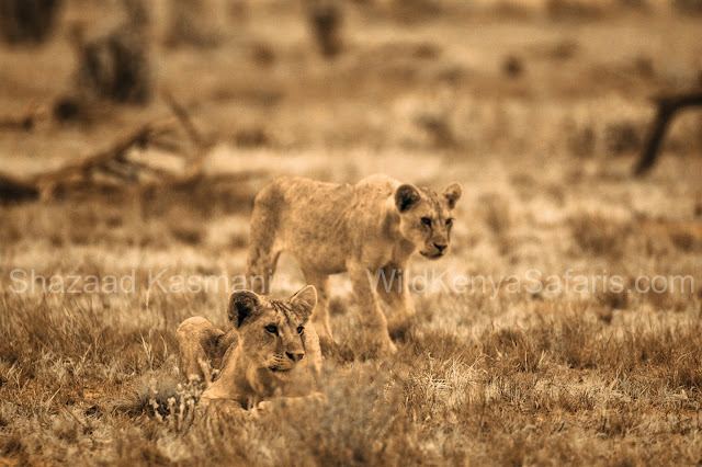 Lion Cubs, Lions Tsavo, Tsavo East National Park, Kenya Safari, Wild Kenya Safaris, www.wildkenyasafaris.com, Safaris from Diani Beach, Shazaad Kasmani, Infrared Wildlife Photography, Wildlife Kenya,