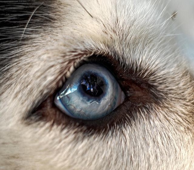 All Things Husky Eye Color Variations And Common Eye Diseases In