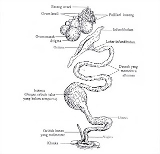 saluran reproduksi ayam betina