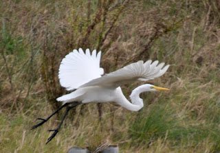 Large white egret flying