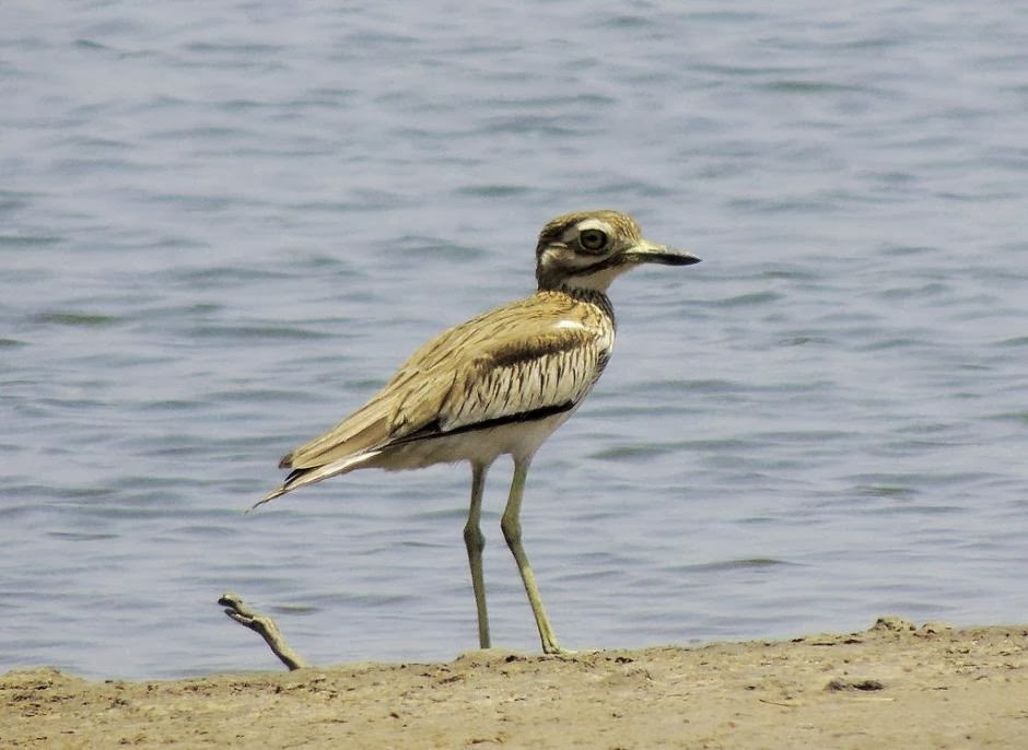 Senegal thick knee