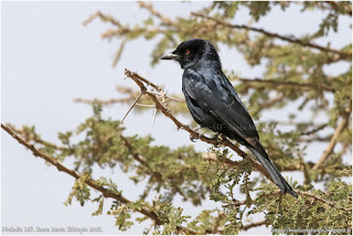 https://bioclicetphotos.blogspot.fr/search/label/Drongo%20brillant%20-%20Dicrurus%20adsimilis%20%28ETP%29