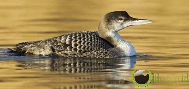 Burung Loon jenis Great Northern