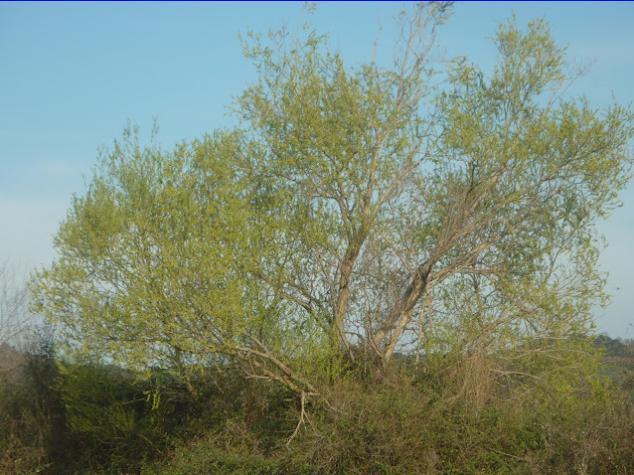 Ιτιά ένα πολύτιμο δέντρο για τις μέλισσες