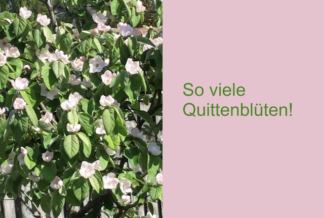 Blüten am Quittenbaum