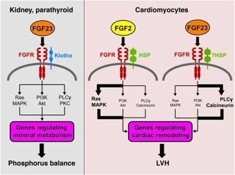 nephron power journal club fgf 23 and lvh