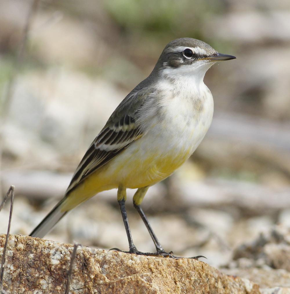 Another Bird Blog Grey Or Yellow