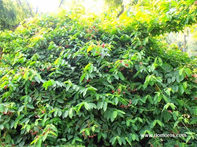 CUISCUALIS: Combretum indicum