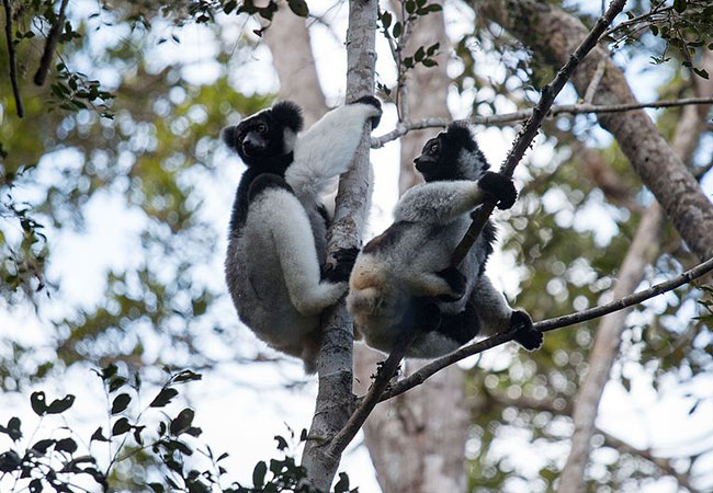Penelitian Scientists estimate the number of callers in Indri indri song