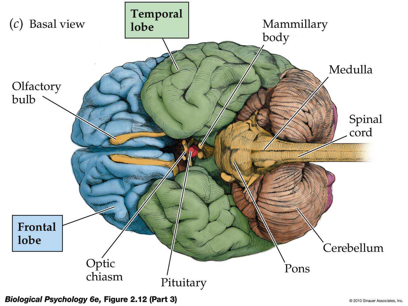 Sheep Brain Superior View Diagram Internal Heart Life After Being A Student My Mission To Learn The