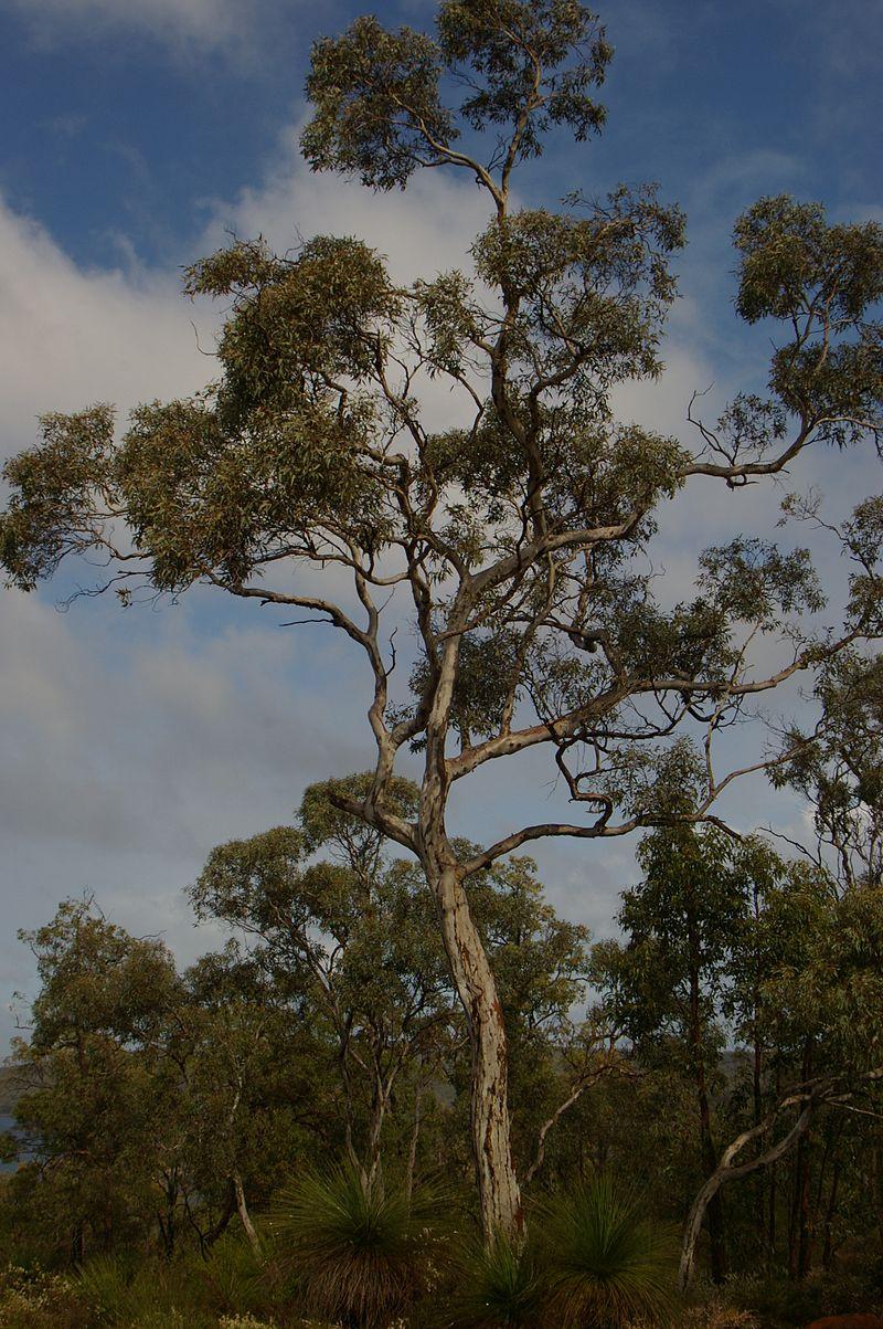 Wandoo Eucalyptus