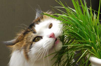 Como plantar hierba para gatos