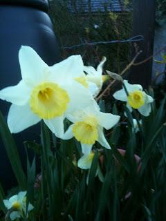 gardening, daffodils, life on pig row