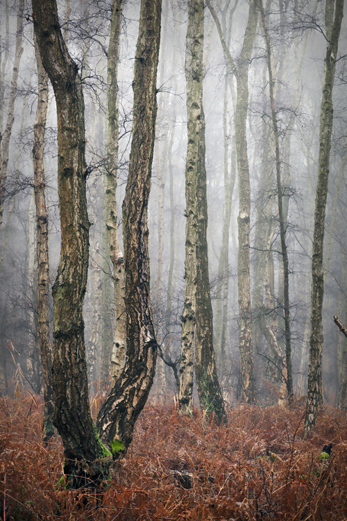 Misty woodland in the Cambridgeshire Fens is veiled in a wintry mist